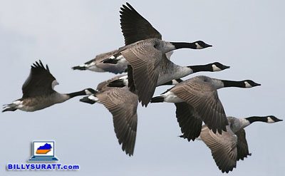 Canada geese flying in formation. (Photo by Ken Billington/Focusing on Wildlife via Wikimedia Commons) (CC BY-SA 3.0)